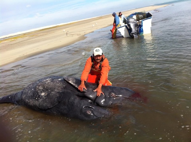 conjoined twin gray whale (2)