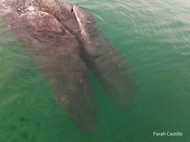 conjoined gray whale twins