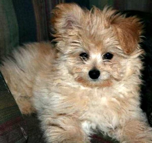 Mixed Breed Spotlight: Pomapoo (Pomeranian Poodle Mix ...