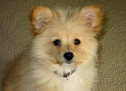 pomeranian mix with poodle mixed breed spotlight pomapoo pomeranian poodle mix 8758