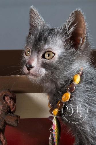 werewolf cat, lykoi cat, werewolf kitten, werewolf cats (3)