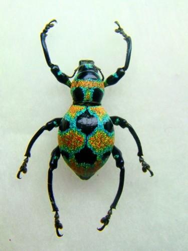 Pachyrrhynchus orbifer, glitter weevil