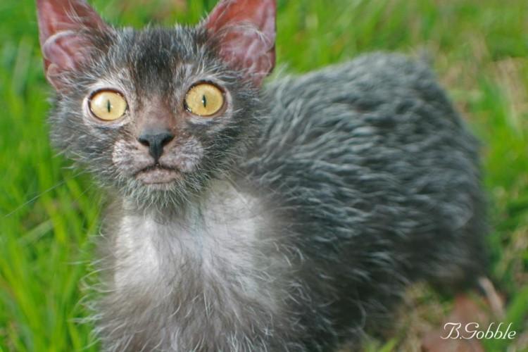 Werewolf cat lykoi cat werewolf kitten werewolf cats 5