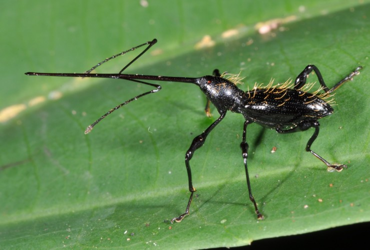 Hammatostylus sp, long-snouted weevil