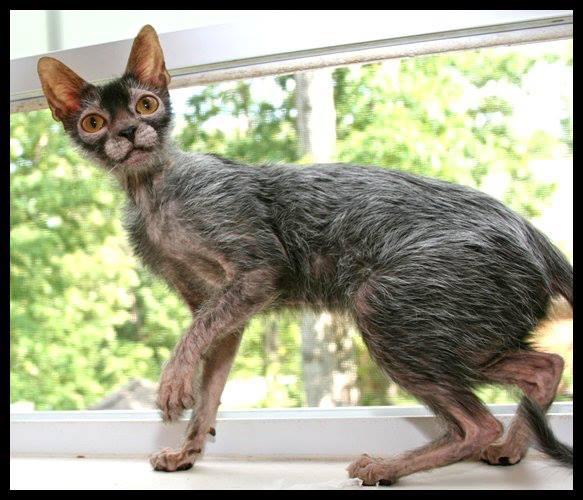 werewolf cat, lykoi cat, werewolf kitten, werewolf cats (4)