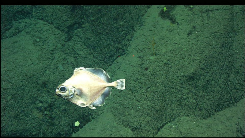 false boarfish, Neocyttus helgae, googly eyes fish (4)