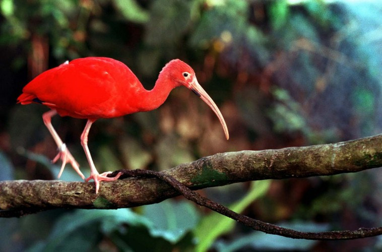 Scarlet Ibis, Endocimus ruber (3)
