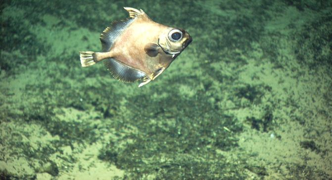 false boarfish, Neocyttus helgae, googly eyes fish (1)