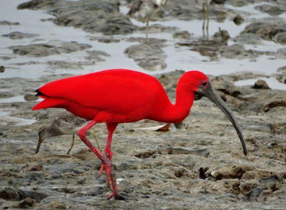 Scarlet Ibis, Endocimus ruber (4)