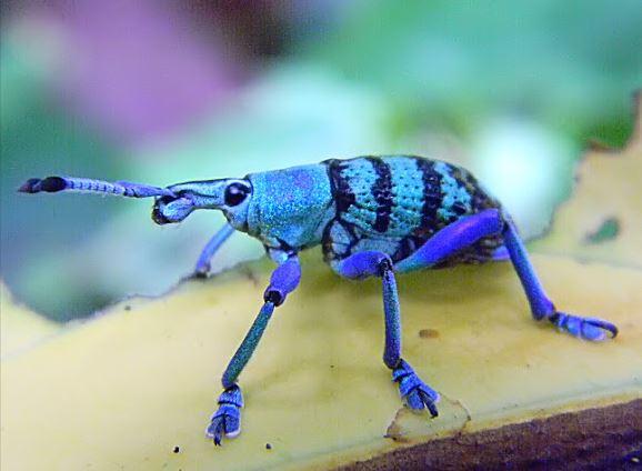 Eupholus schoenherri, blue weevil