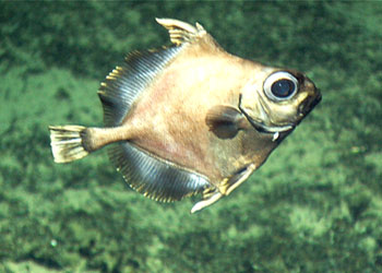 Oogle this Google: Meet the Googly Eyes Fish of the Deep!
