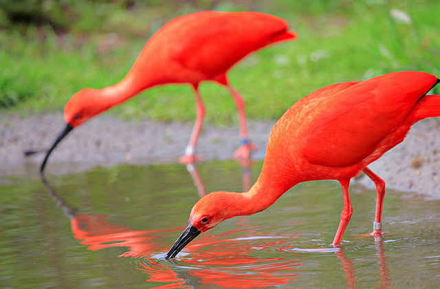 Scarlet Ibis, Endocimus ruber (5)