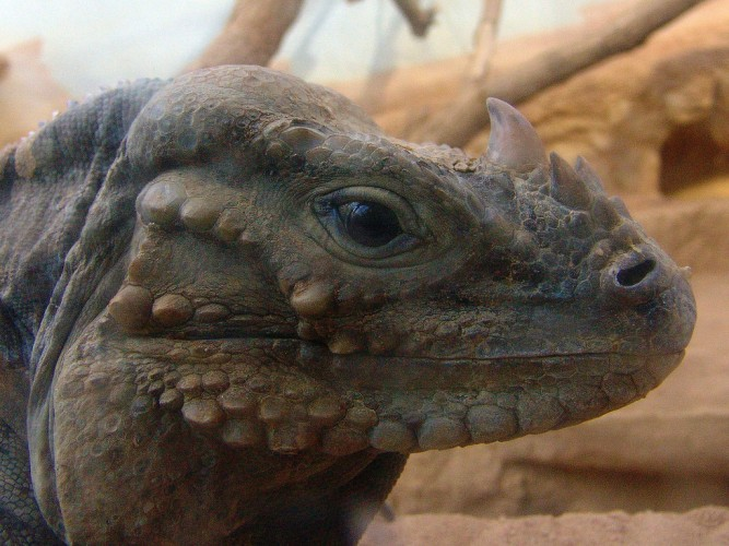 rhinoceros iguanas, Cyclura cornuta (4)