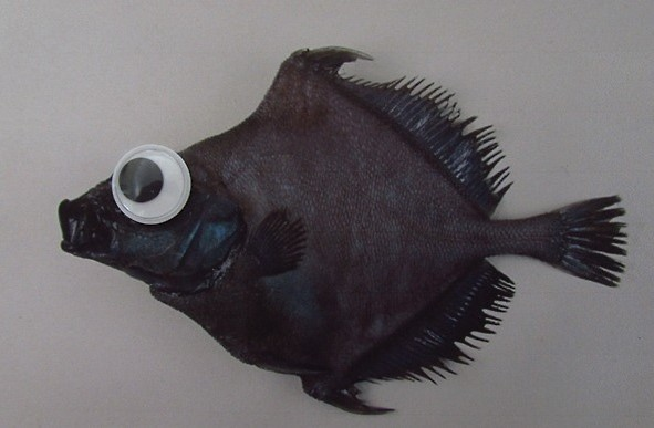 false boarfish, Neocyttus helgae, googly eyes fish (2)