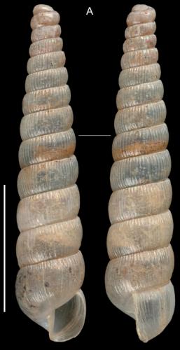 unicorn snail, snail, Cyclopedus anselini