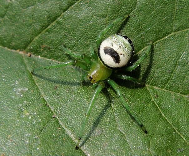 Araneus mitificus, Pringles man spider, kidney garden spider (5)