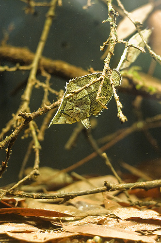 south american leaf fish, Monocirrhus polyacanthus (4)