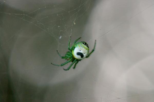 Araneus mitificus, Pringles man spider, kidney garden spider (4)