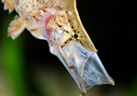 South American Leaf Fish: 'Leaf Mimic' Hoover Vac's Its Prey