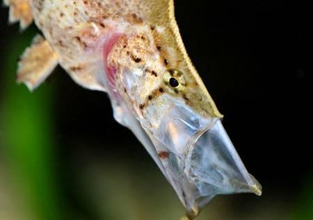 South American Leaf Fish: 'Leaf Mimic' Hoover Vac's Its Prey