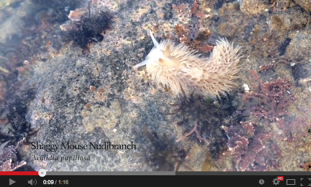 Nudi Bits: Shaggy Mouse Nudibranch