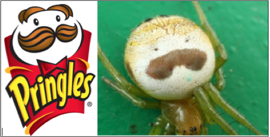 Meet the Spider That Looks Just Like the Pringles Man