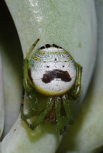 Araneus mitificus, Pringles man spider, kidney garden spider (1)