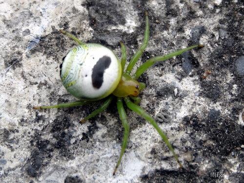 Araneus mitificus, Pringles man spider, kidney garden spider (2)