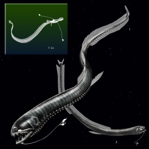 Idiacanthus fasciola, black dragonfish, larval dragonfish (6)