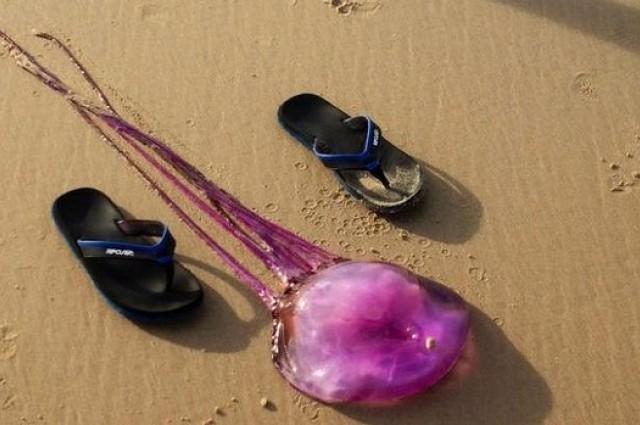 new species, purple jellyfish (2)