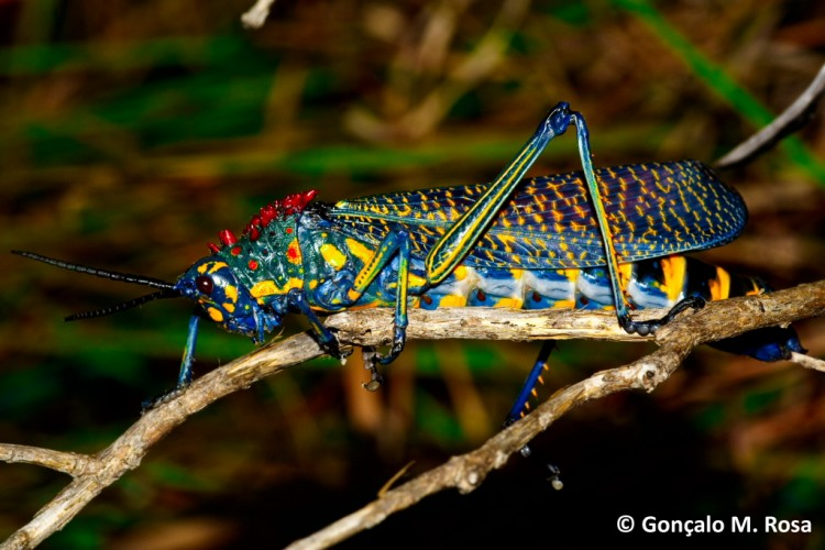 Rainbow Milkweed Locust, Phymateus saxosus