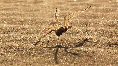 flic-flac spider, Cebrennus rechenbergi (5)