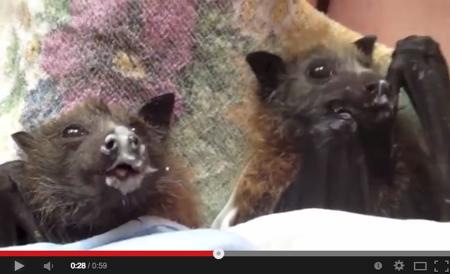 Rescued Baby Flying Foxes Enjoy Some Fruit & Yoghurt