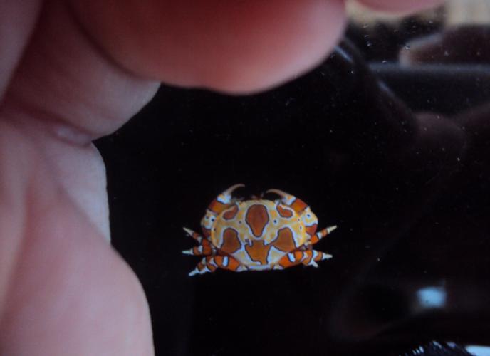 gaudy clown crab, Platypodiella spectabilis (4)