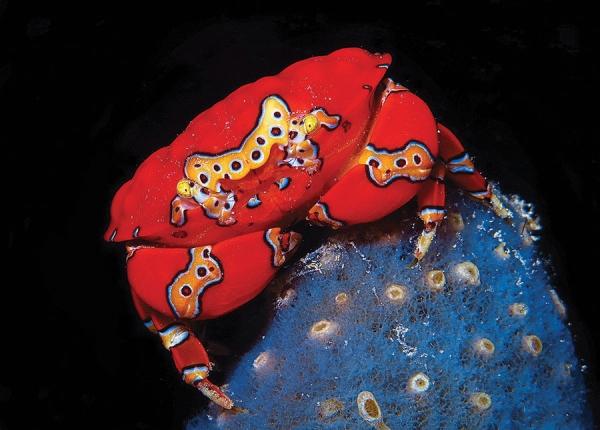 gaudy clown crab, Platypodiella spectabilis (2)