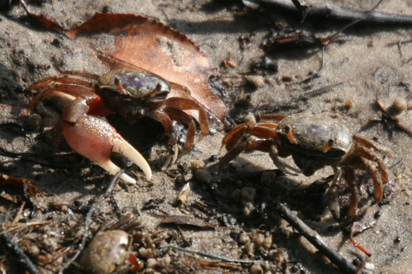 Atlantic sand fiddler crab, Uca pugilator (7)