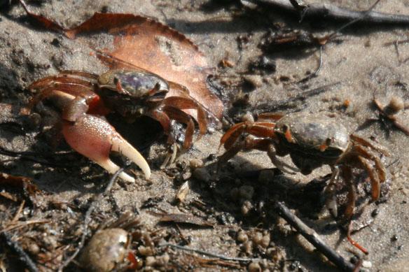 Atlantic sand fiddler crab, Uca pugilator (7)