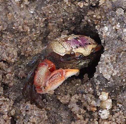 Atlantic sand fiddler crab, Uca pugilator (9)