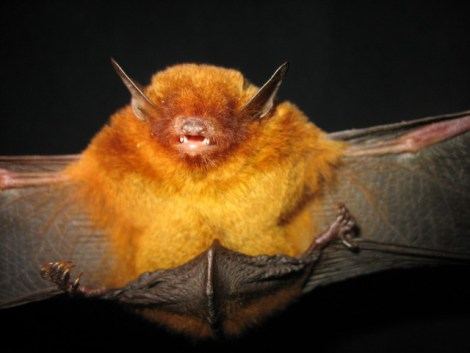 golden bat, Myotis midastactus, new species (2)