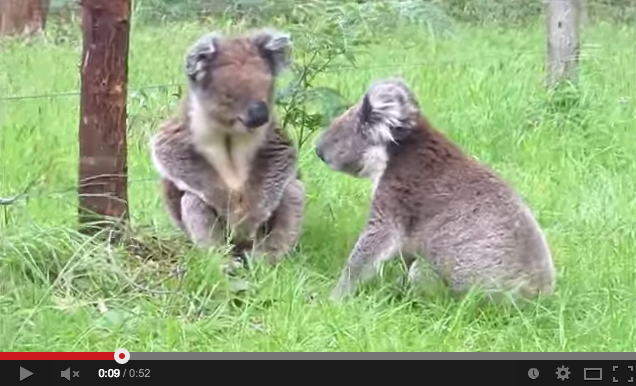 Video: Koala Sounds Make Koala Fights Sound Silly