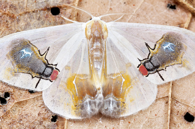 'How to be Bird Poop For Dummies' by This Moth Fly Mimic