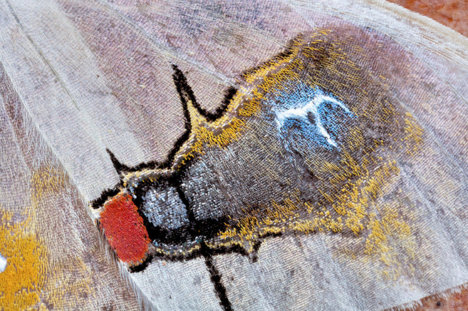 moth fly mimic, Macrocilix maia, bird poop, for dummies (2)