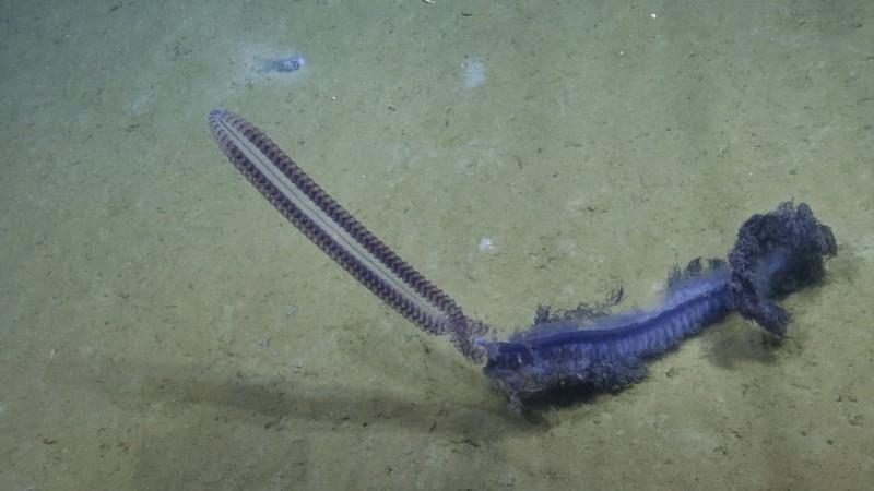deep sea siphonophore (3)