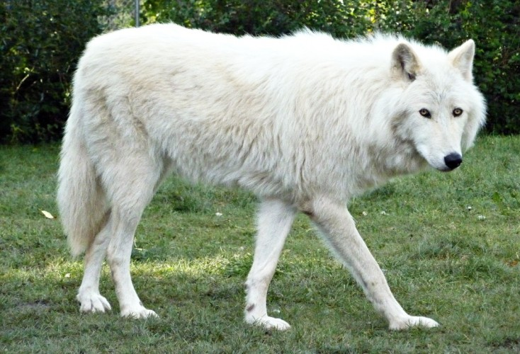 Most Wolf Like Dog Breeds