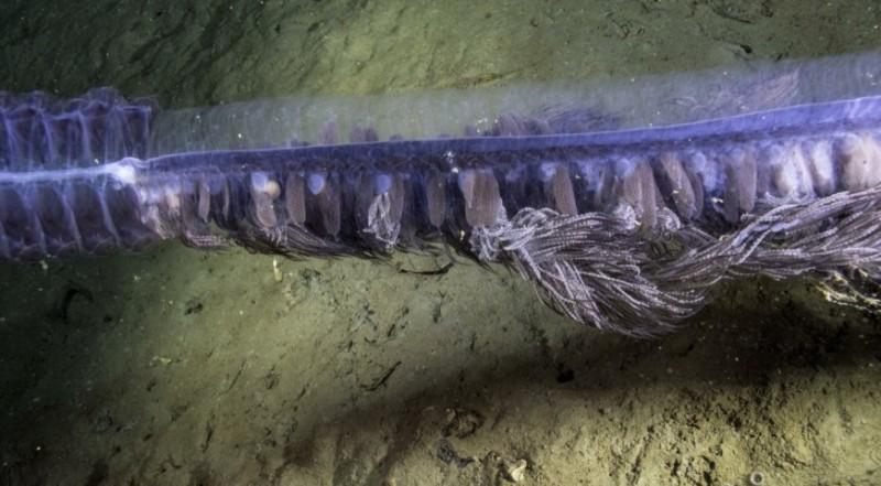 deep sea siphonophore (2)