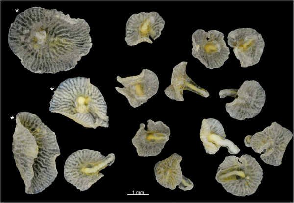 Dendrogramma enigmaticaI, deep sea mushroom, new species