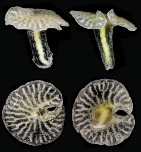 Mysterious New Deep-sea 'Mushroom' Creature Discovered
