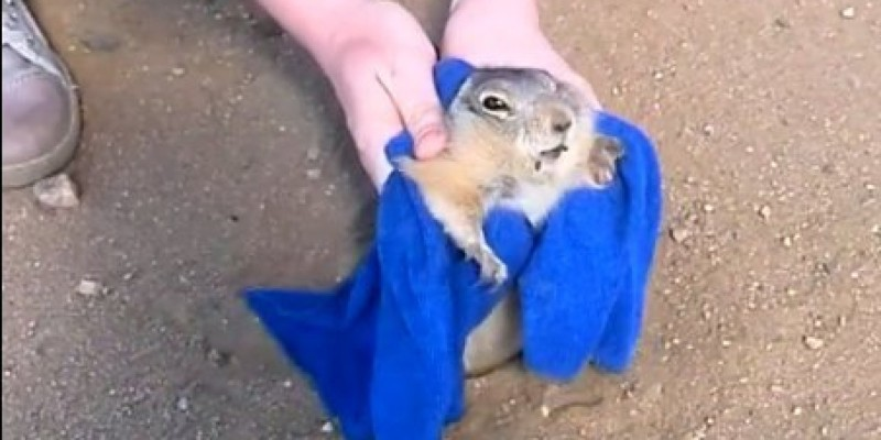 Pleasantly Plump Prairie Dog Stuck In His Hole, Rescued