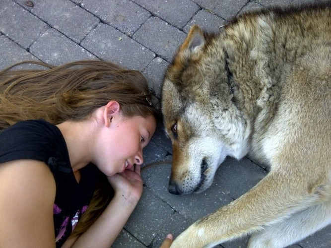 What to Know If You Are Thinking of Getting a Wolfdog
