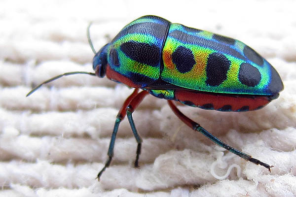 beautiful beetles, pictures of beetles (17)
